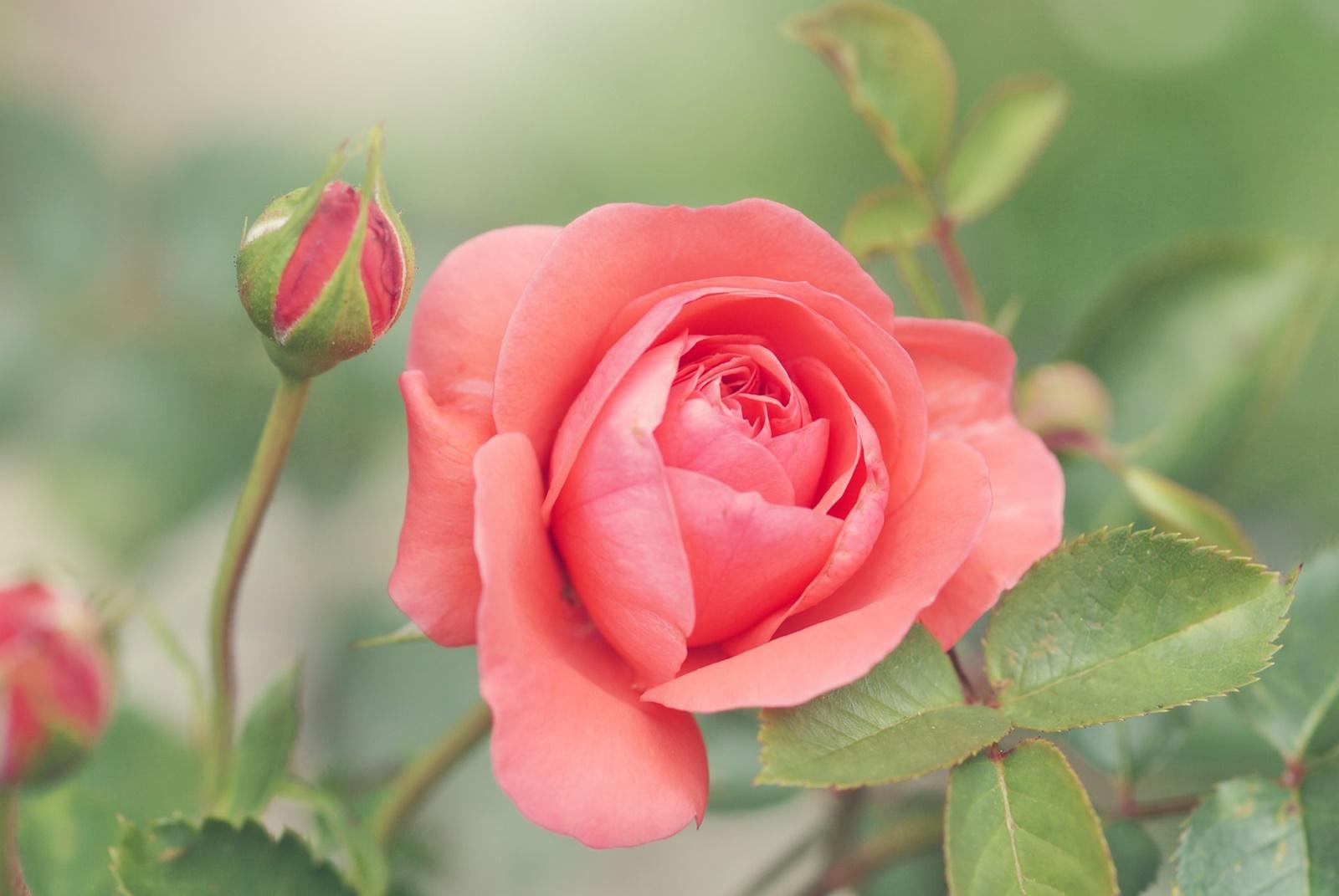 バラの花言葉は本数によって意味が違うって本当?